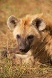 Hyaena macchiato Immagine Stock