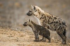 Hyaena macchiato nel parco nazionale di Kruger, Sudafrica Fotografia Stock