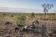 Hyaena macchiato nel parco nazionale di Kruger, Sudafrica Immagini Stock Libere da Diritti