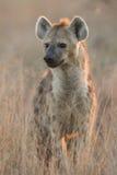Hyaena manchado, (crocuta del Crocuta), Suráfrica Imagen de archivo libre de regalías