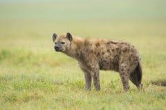 Hyaena manchado (crocuta) del Crocuta Tanzania Fotos de archivo