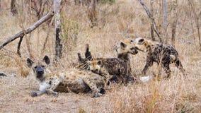 Hyaena manchado en el parque nacional de Kruger Imágenes de archivo libres de regalías