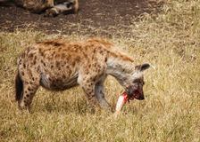 Hyaena manchado en salvaje Imagenes de archivo
