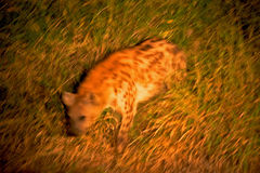 Hyaena repéré Image stock