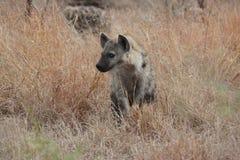 Hyaena repéré Photos stock