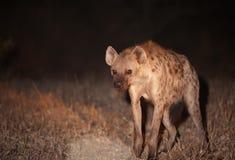 Hyaena repéré (crocuta de Crocuta) photos libres de droits