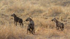 Hyaena repéré en parc national de Kruger, Afrique du Sud photos stock