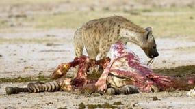 Hyaena som matar på ett byte arkivbilder
