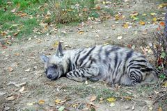 Hyaena hyaena sultana Hyena Sleeping Resting Stock Photo stock images