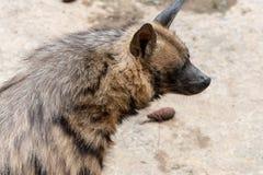 Hyaena testa-a strisce Immagine Stock Libera da Diritti