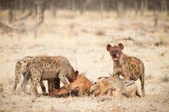 Hyaenas images libres de droits