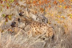 Hyaenas manchados en alarma Foto de archivo libre de regalías