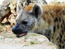Hyaenidae, Hiena Imagen de archivo