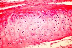 Hyaline cartilage of human trachea. Light micrograph Royalty Free Stock Photo