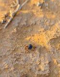 Hyalomma fästing från Ixodidaefamiljslut Ett farligt parasit- och infektionbärarekvalstersammanträde på jordning Arkivbilder