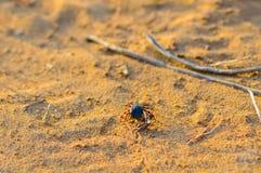 Hyalomma fästing från Ixodidaefamiljslut Ett farligt parasit- och infektionbärarekvalstersammanträde på jordning Royaltyfri Bild