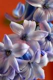Hyancinth blu Fotografia Stock
