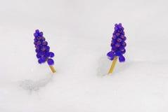 Hyazinth och snow Arkivbild