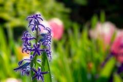 Hyazinthe, die im Garten w?chst stockbilder
