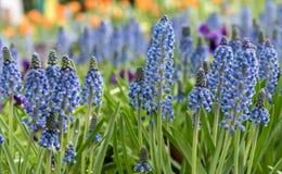 Hyazinthe im Garten stockfotografie