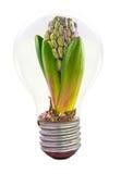Hyazinthe innerhalb der Glühlampe Stockfotos