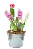 Hyazinthe und Tulpe stockfotos