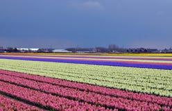 Hyazinthefeld in Holland Stockfotografie