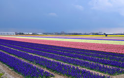 Hyazinthefeld in Holland Stockbild