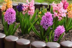 Hyazinthen, die im Garten blühen stockbilder