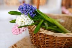 Hyazinthen in einem Weidenkorb im Frühjahr Lizenzfreies Stockfoto