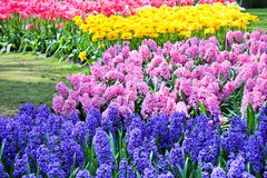 Hyazinthen und Tulpen im Frühjahr Lizenzfreies Stockbild