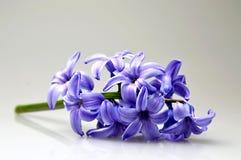 Hyazinthenblume auf hellem Hintergrund Lizenzfreie Stockfotos