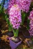 Hyazinthenblume blühen im Garten stockbilder