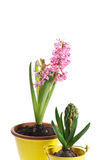 Hyazinthenblume und Hyazinthenknospe Stockfotos