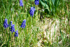 Hyazinthenblumen Stockfoto