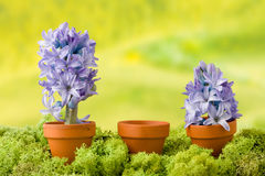 Hyazinthenblumen mit Kopienraum Stockfoto