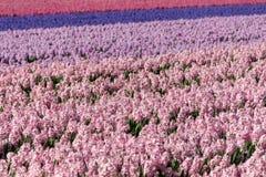Hyazinthenfeld-Rosapurpur, Holland, die Niederlande stockfotografie