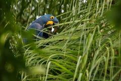 Hyazinthenkeilschwanzsittich auf einer Palme im Naturlebensraum lizenzfreies stockfoto