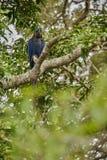 Hyazinthenkeilschwanzsittich auf einer Palme im Naturlebensraum lizenzfreie stockfotografie