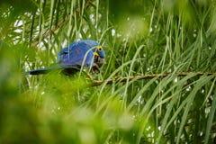 Hyazinthenkeilschwanzsittich auf einer Palme im Naturlebensraum stockbild