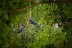 Hyazinthenkeilschwanzsittich auf einer Palme im Naturlebensraum lizenzfreie stockbilder