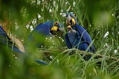 Hyazinthenkeilschwanzsittich auf einer Palme im Naturlebensraum stockfoto