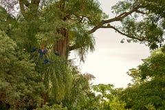 Hyazinthenkeilschwanzsittich auf einer Palme im Naturlebensraum stockfotos
