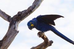 Hyazinthenkeilschwanzsittich, brasilianische wild lebende Tiere stockfotos