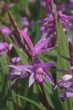 Hyazinthenorchideenblumen Stockfotos