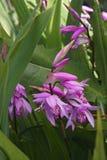 Hyazinthenorchideenblumen Stockfotografie