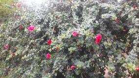Hybicuss kwiat obraz stock