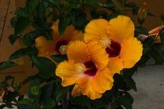 Hybiscus arancio Fotografia Stock Libera da Diritti