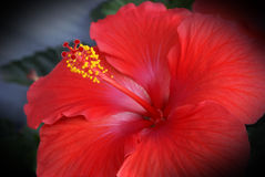 Hybiscus Flower Royalty Free Stock Images