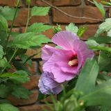 Hybiscus flower 2. Hybiscus flower in bloom time Stock Photo